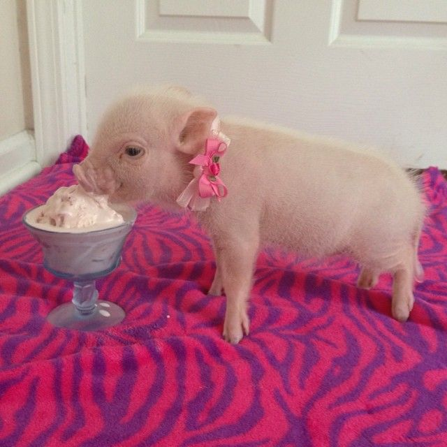 21 photos of Priscilla & Poppleton: The Mini-Pigs Taking Instagram by Storm!