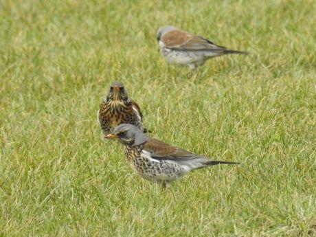Groep kramsvogels in een weiland
