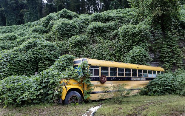 Today kudzu vine covers millions of acres throughout the southeastern United States. The University of Kentucky has looked at using goats to eat kudzu as forage.