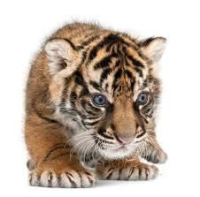 Image result for javan tiger