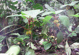 PLANTAS NATURALES DEL AREA ECOLOGICA NATURAL PARA ACAMPAR LA MONTAÑITA