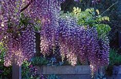 Rooting Wisteria Plants: How To Propagate Wisteria From Cuttings
