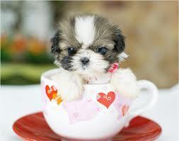 che fa quel cagnolino in una tazza
