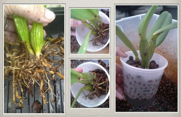 Orchid Water Culture!!!!