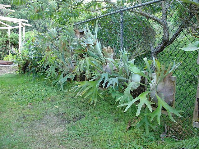Dream Garden 3: Samambaia Chifre de Veado Gigante / Platycerium superbum