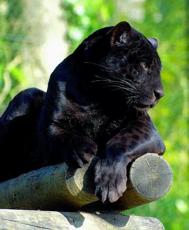 301 best images about Black PANTHERS on Pinterest   Black, Cats ...