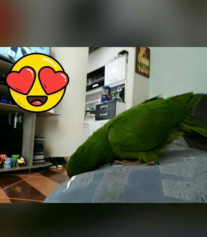 my parrot is trying to sleep aww #dogs #kitty #lovecats #kittens #animals #ねこ #animal #kitten #cat #pets #ilovemycat #love #catoftheday #happynewyear #adorable #catlover #pet #meow #猫 #cute #pinterest #parrotpet