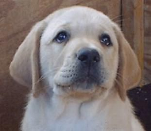 Labradors rescued from alleged Plains puppy mill – KPAX