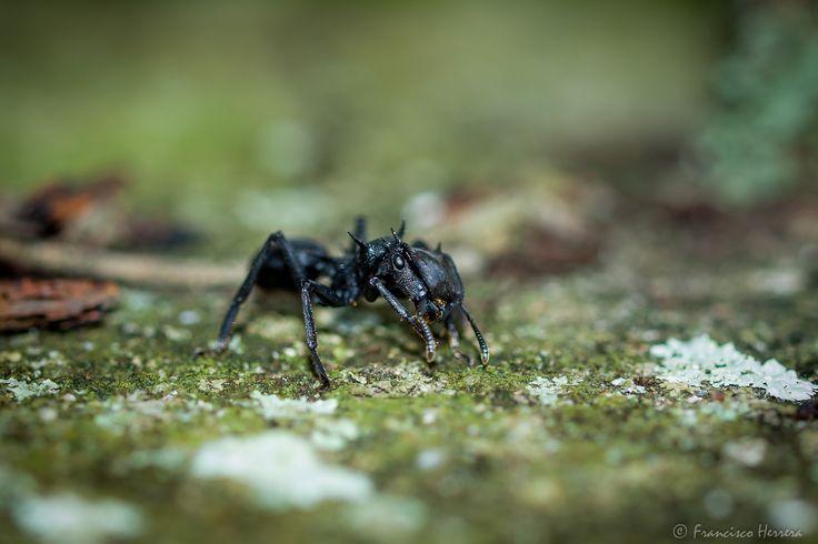 https://flic.kr/p/SY7j2C | Bachaco / Big Ant - Cephalotes atratus | Bachaco / Big Ant - Cephalotes atratus  Salom, Edo. Yaracuy, Venezuela