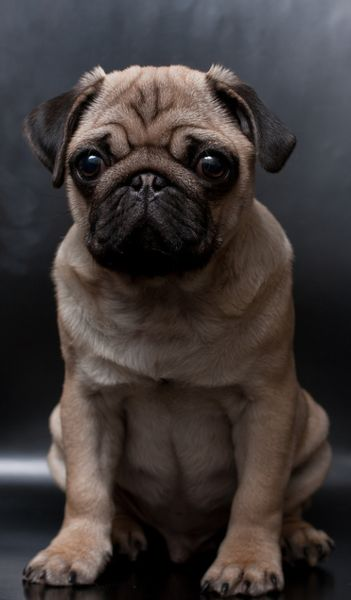 Pug.  -I used to think pugs were ugly...until I met Mark.  His daughter had one and she was so adorable!  Miss you Heaven!...dv