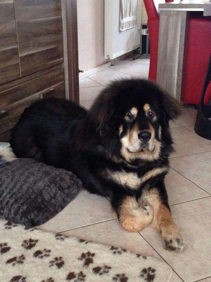 Bagheera Tibetaanse mastiff | Pawshake Kudelstaart