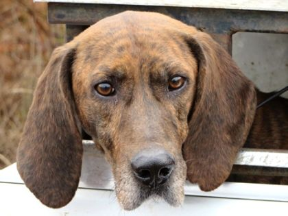 13 Best Adoptable Plott Hounds Images By Coonhounds On Pinterest Plott Hound Animais And Animaux
