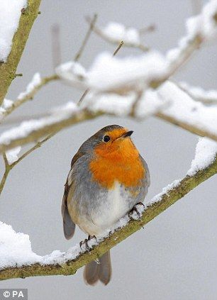 This rather large robin sits atop a snow covered branch in Hexham, Northumberlan