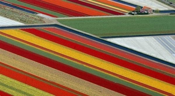 Campos de Tulipanes en Holanda.