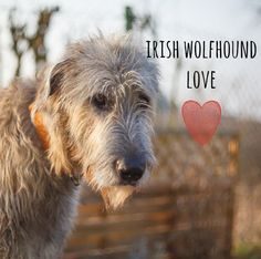 #IrishWolfhound love