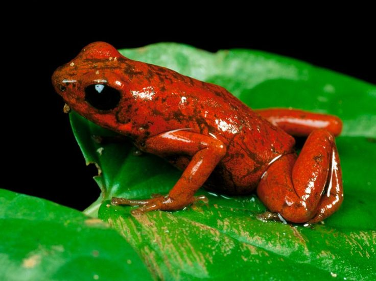 Poison Dart Frog Pictures - National Geographic