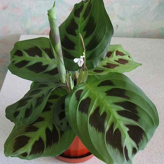 105 best images about tropical house plants on pinterest banana plants tropical and tropical - Name of house plants ...