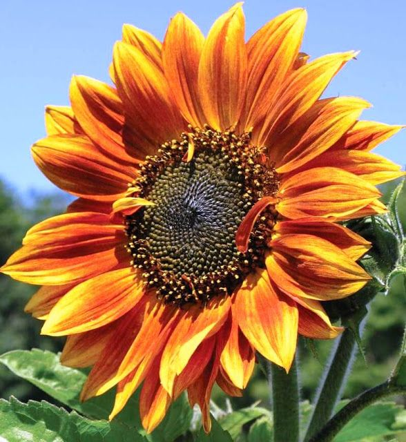 Ukraine Is A Country Of Europe Continent The National Flower Of Ukraine Is Sunflower Helianthus Annuus Flower Seeds Autumn Beauty Indoor Flowering Plants
