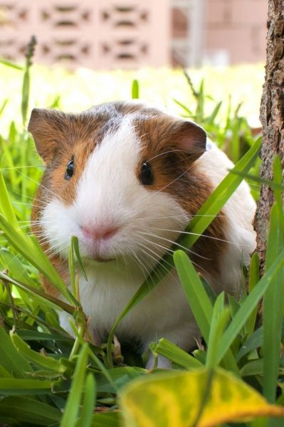FIND THE FATEST GUINEA PIG IN PERU, CONVINCE MY PARENTS TO BUY IT FOR ME AND THEN DITCH IT ONCE I GOTTA MOVE BACK TO THE US muaaaaaaaaaaajajajajajaja