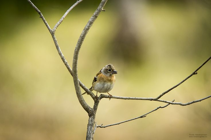 A little tweety bird by Frode Abrahamsen on 500px