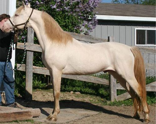 Image result for perlino horse color