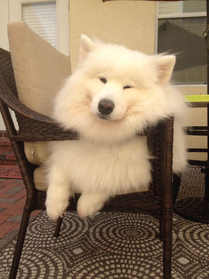 549 Best Samoyed Puppies Images On Pinterest Puppys