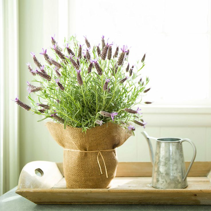 Spanish Lavender in VALENTINE'S+GIFTS Valentine's Day Her Favorites at Terrain