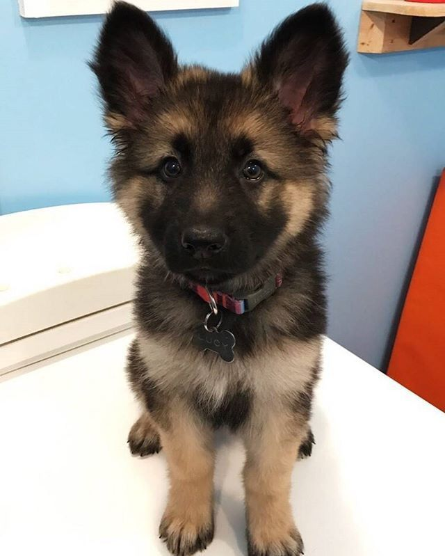 Pin By Mikayla Cardin On Animals Shepherd Puppies Puppies Baby