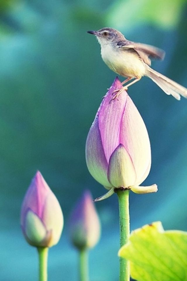 Bokeh Pond Lotus Bud Bird Standing Macro #iPhone #4s # ...