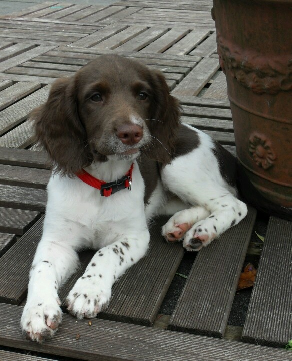 English Spaniel...looks like my Milo