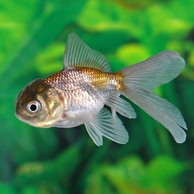 314 best images about gotta love fantail goldfish on for Goldfish pond care