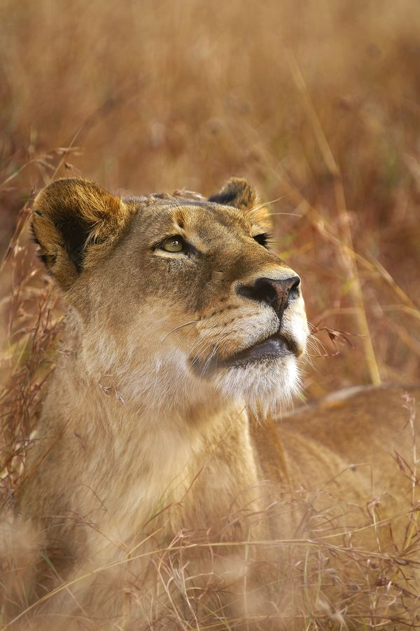 lioness was watching a Male Leopard up in a tree, after she had chased off a mating pair of Leopards in the Sabi Sands