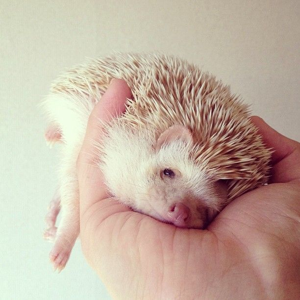 Best Hedgehogs Images On Pinterest Animal Illustrations - Darcy cutest hedgehog ever