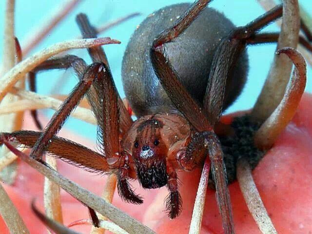 Brown Recluse Spider. Dangerous!