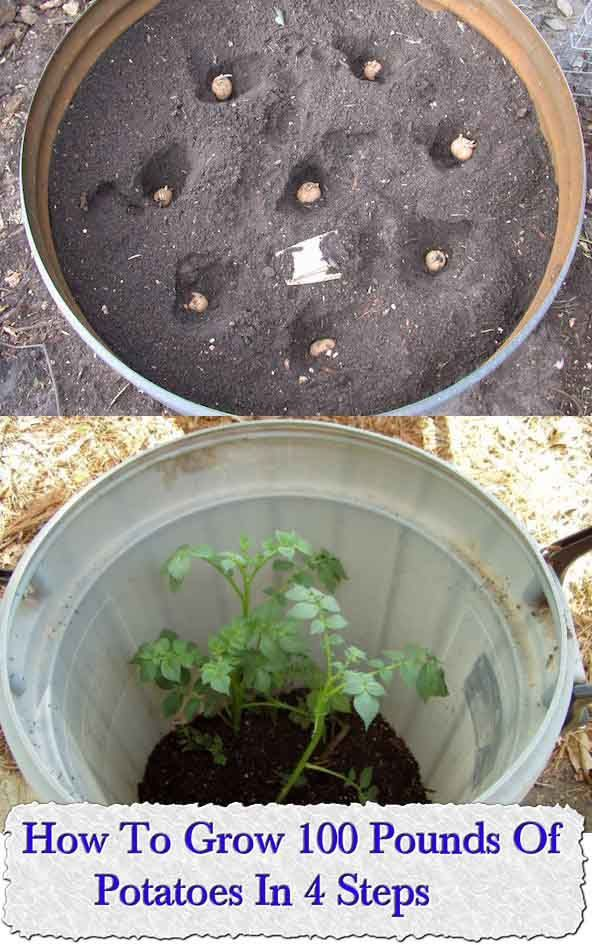 Welcome to living Green & Frugally. We aim to provide all your natural and frugal needs with lots of great tips and advice, How To Grow 100 Pounds Of Potatoes In 4 Steps