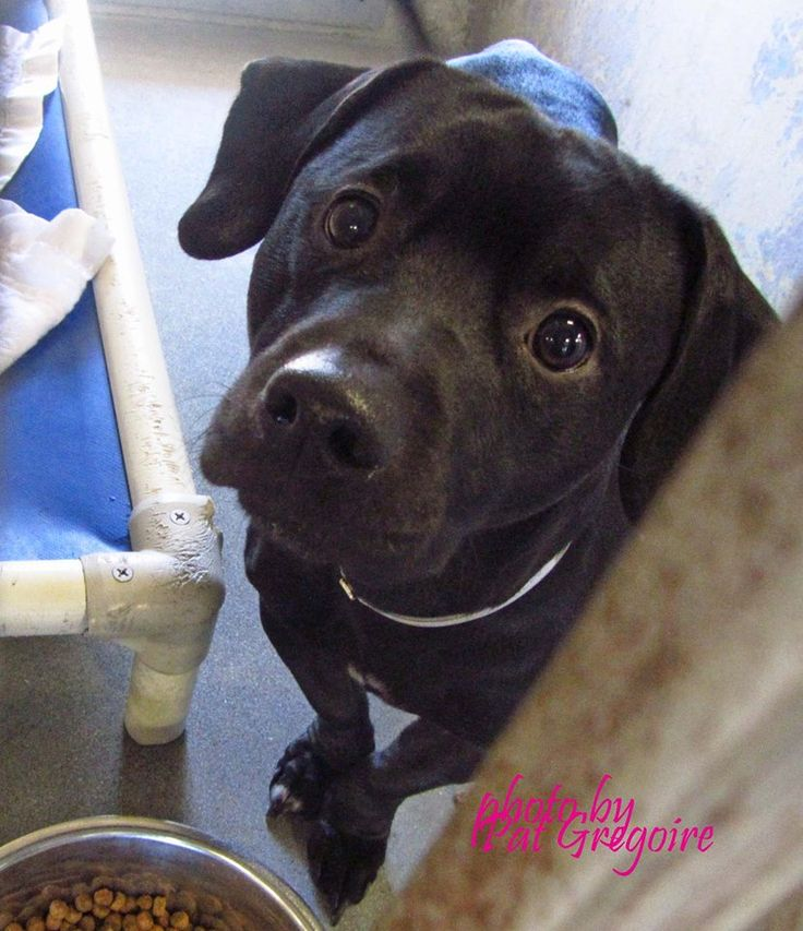 SAFE --- A4788246 My name is Pup Le Pue. I am a very friendly 1 yr old male black beagle mix (shelter says pit mix). My owner dumped me here along with my mate and two pups (A4788247, A4788250 and A4788251 Baldwin Park Shelter https://www.facebook.com/photo.php?fbid=899376340074204&set=a.705235432821630&type=3&theater