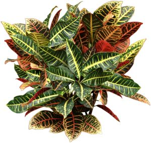 Crotons have beautiful multicolored hard leathery leaves that come on red and green ornamental grass, red and green leaf plant, red and green ground cover,