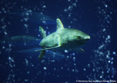 111 best images about Great White Shark on Pinterest ...