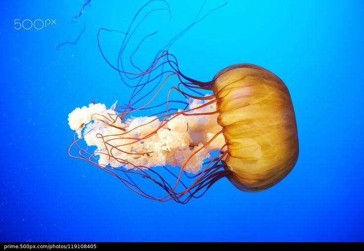 Orange jellyfish (Chrysaora fuscescens) - stock photo