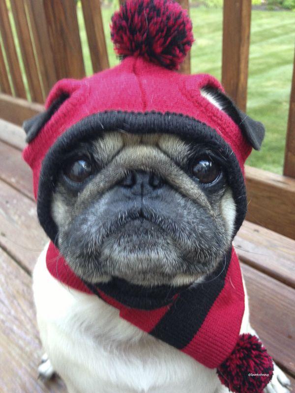 Social Pug Profile | Spanky http://www.thepugdiary.com/social-pug-profile-spanky/