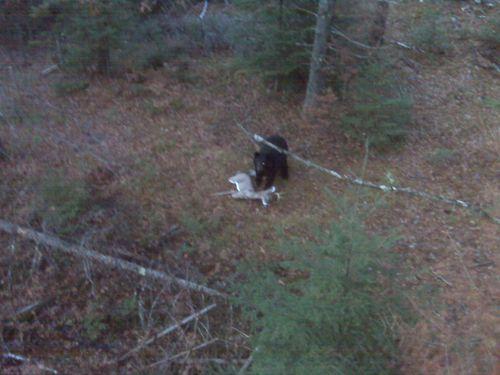 bear attacks decoy