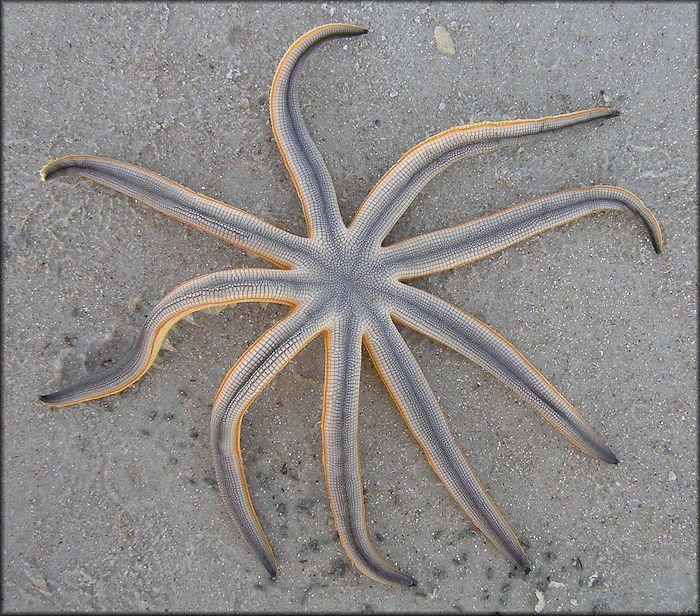 best starfish sea stars images starfish stars 162 best starfish sea stars images starfish stars and ocean life