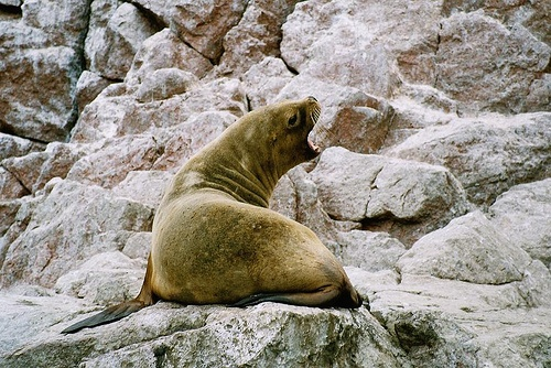 Sea Lion, Peru (analog photography)