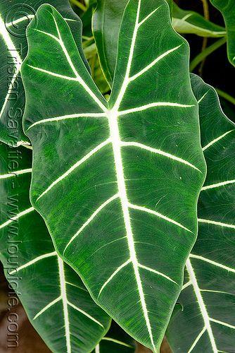 Large leaf tropical plant flowers pinterest photos for Large garden plants
