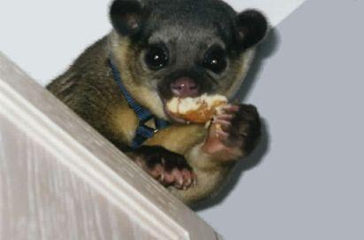 286 Best Kinkajous Images On Pinterest Wild Animals