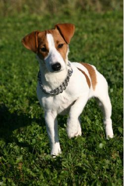Jack Russell Terrier Breed Information & Pictures (Russell Terrier)