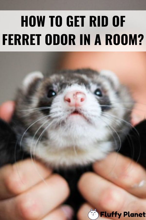 how to get rid of ferret smell