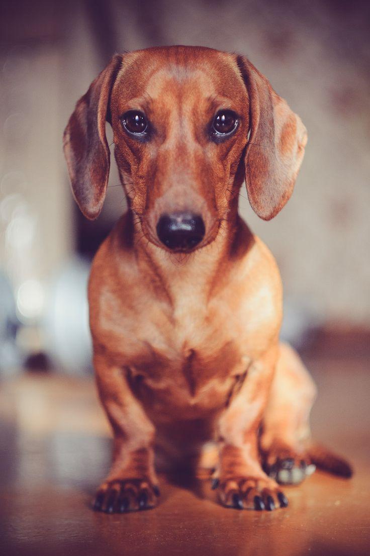 perfect red dachshund portrait