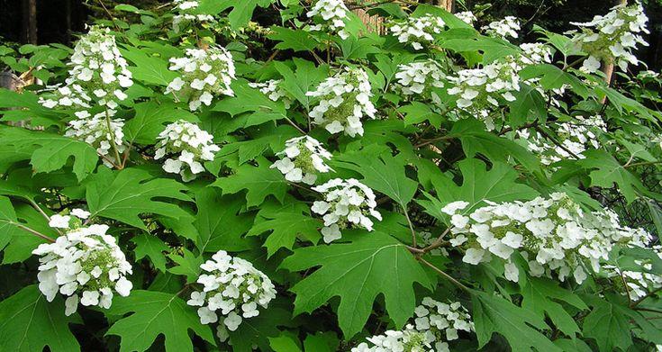 Come potare l'Ortensia quercifolia  Bakker.com
