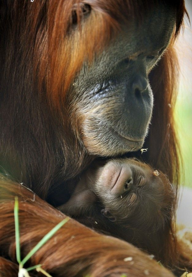 Sumatran Orang-utan mother & baby by Joe Armao - http://ift.tt/YjUI5u: